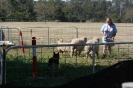 Herding Tests/Trials :: GSDCSept09_Ivy-Rose.3